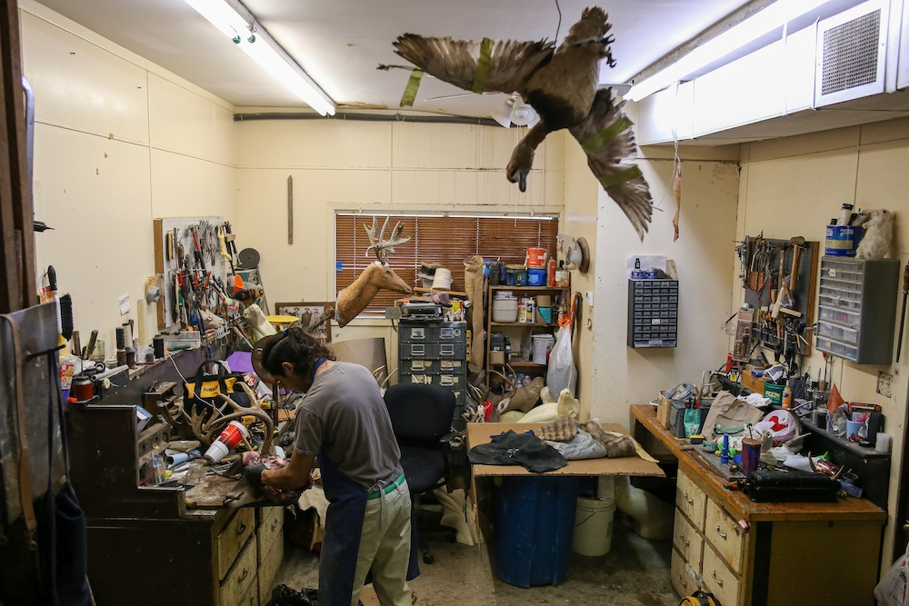 Xavier Anaya is an apprentice at Martinez Brothers Taxidermists. Photo by Cody Bjornson